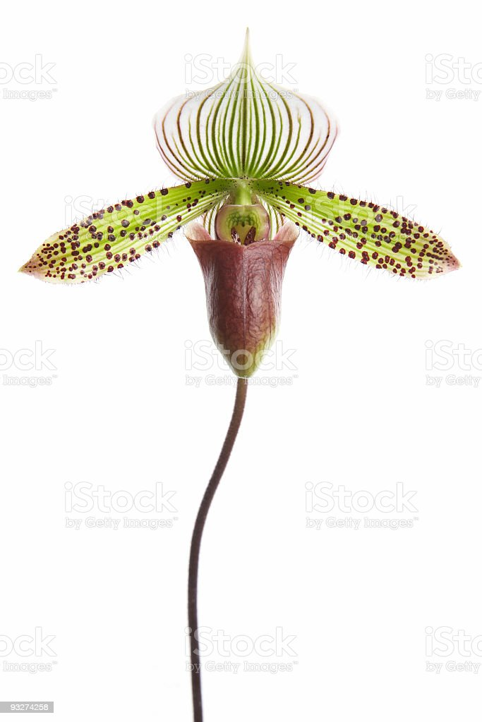 Paphiopedilum Orchid stock photo
