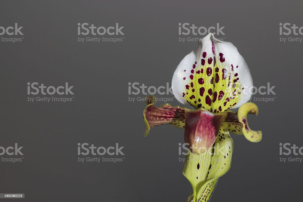 Paphiopedilum orchid with a greyish background stock photo