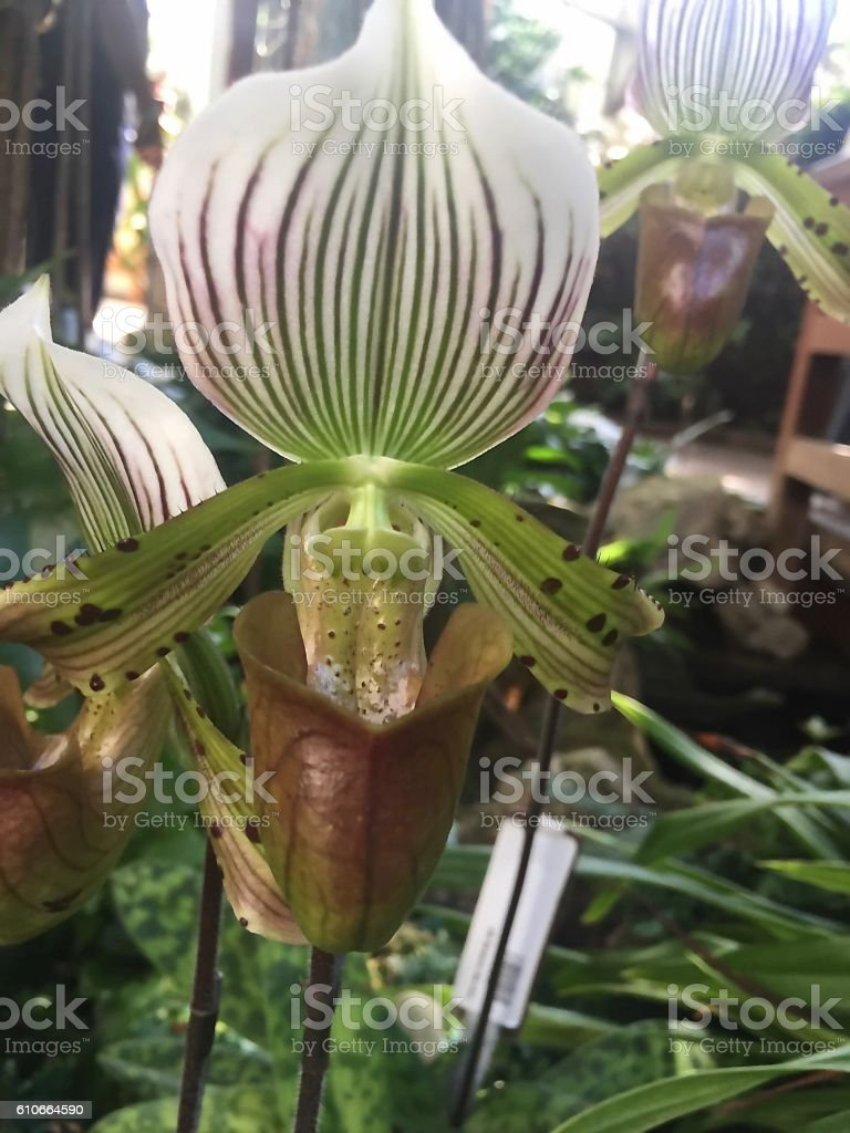 paphiopedilum stock photo