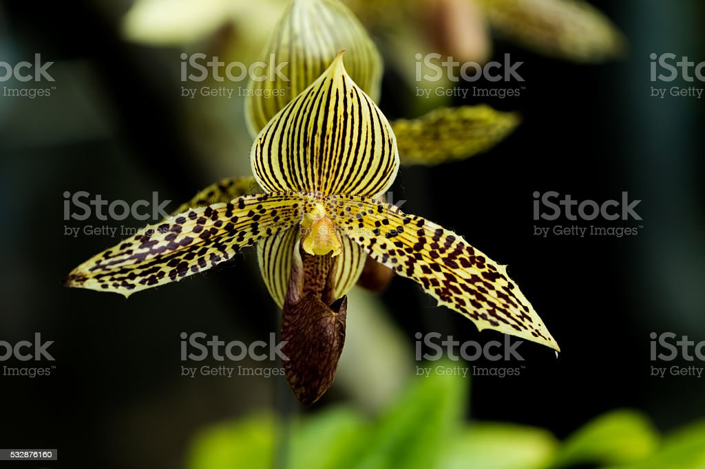 Paphiopedilum rothschildianum stock photo