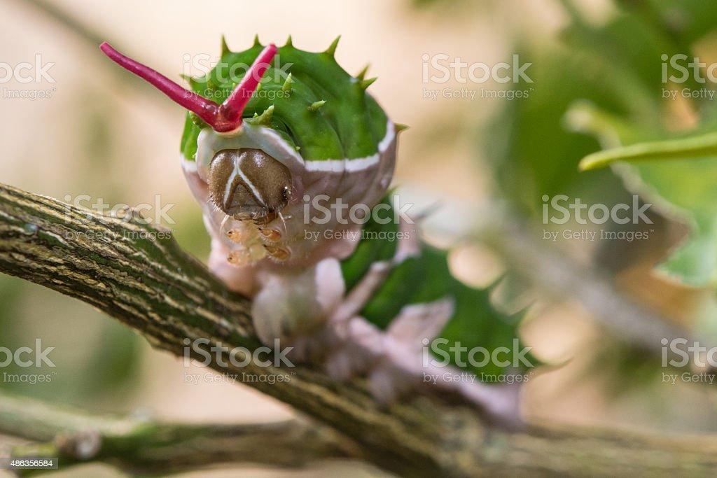 Papilio aegeus - Caterpillar stock photo