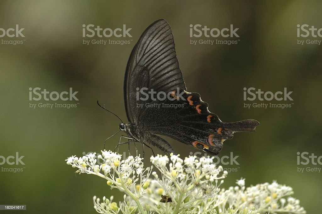 Papilio bianor feeding on the stars (Taiwan, butterfly) royalty-free stock photo