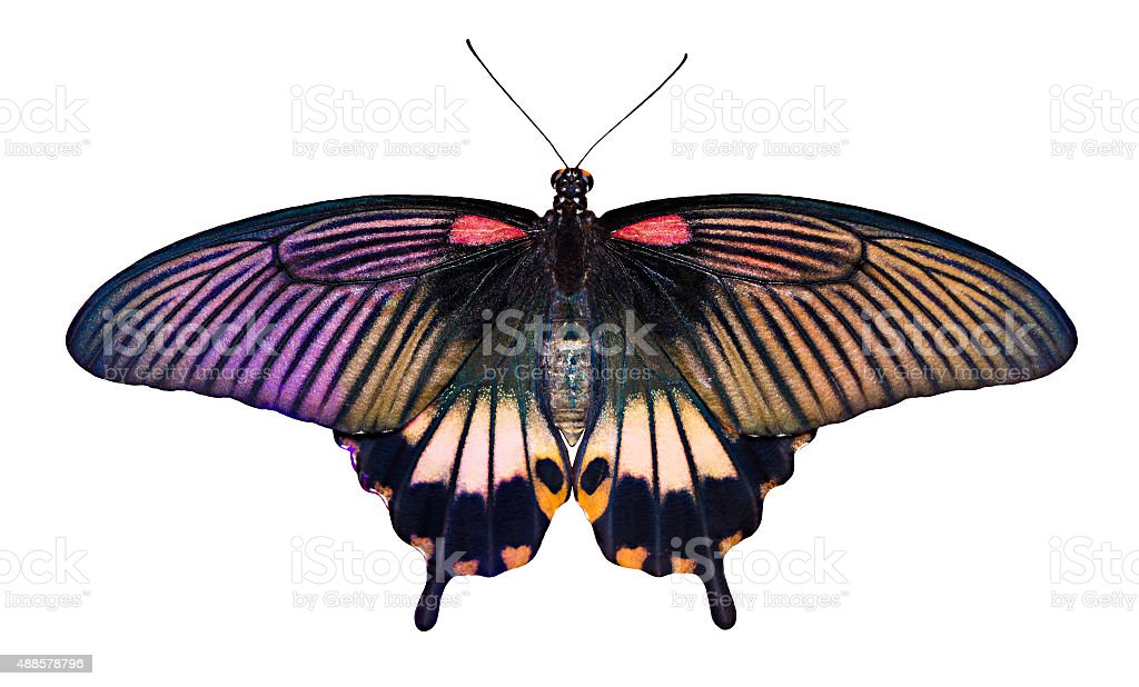 Papilio butterfly on white background stock photo