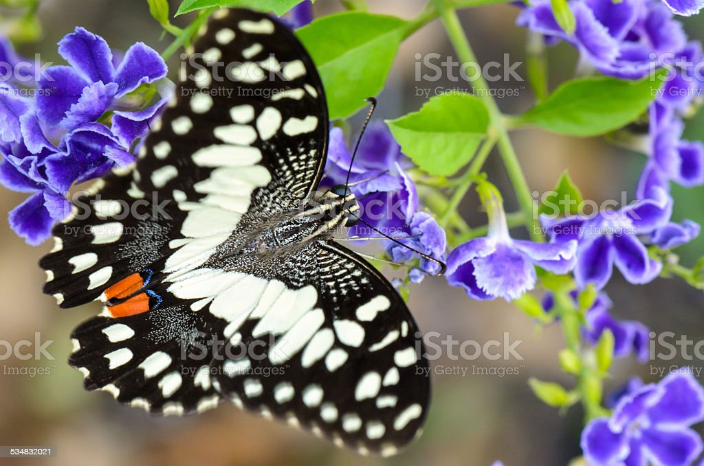 Papilio demoleus black and white spots butterfly stock photo