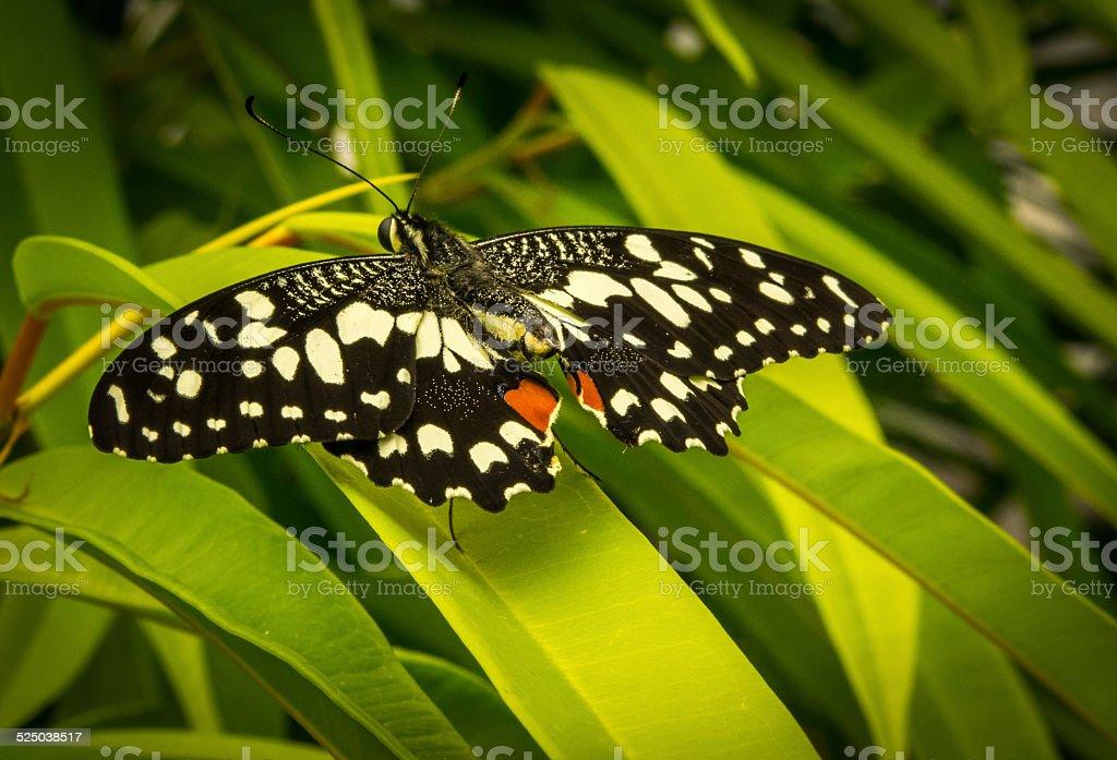 Papilio demoleus on a green leaf. stock photo
