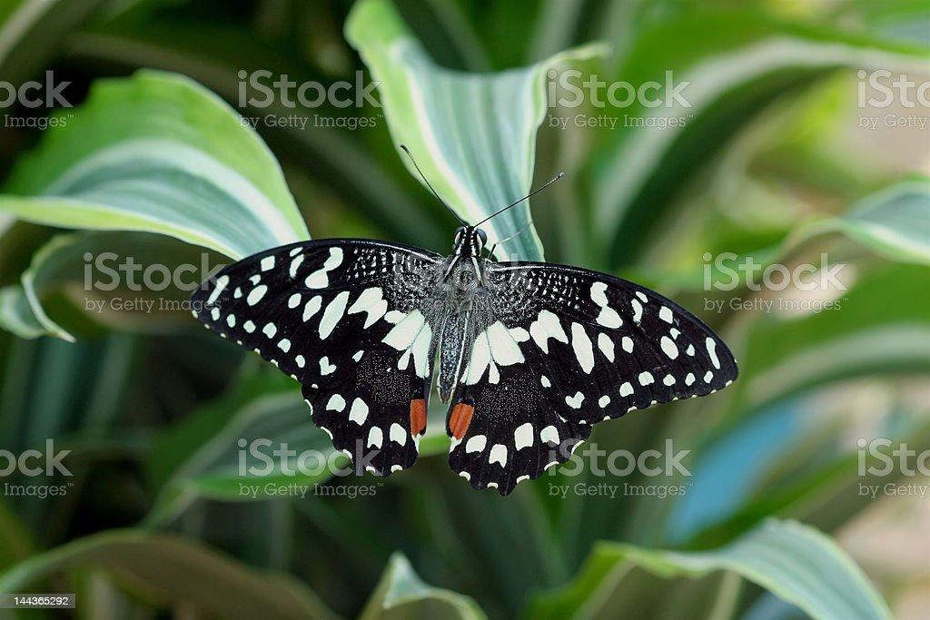 Papilio demoleus (butterfly) stock photo