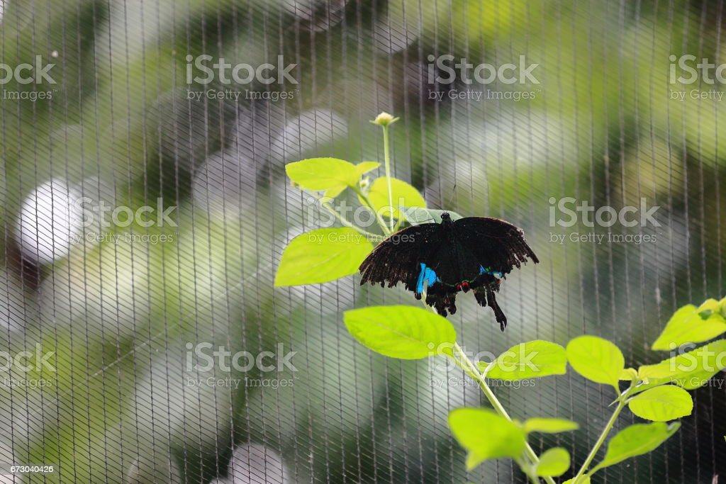 Papilio paris-Paris peacock butterfly. Kuangsi butterfly park-TatKuangSi waterfalls-Luang Prabang-Laos. 4255 stock photo