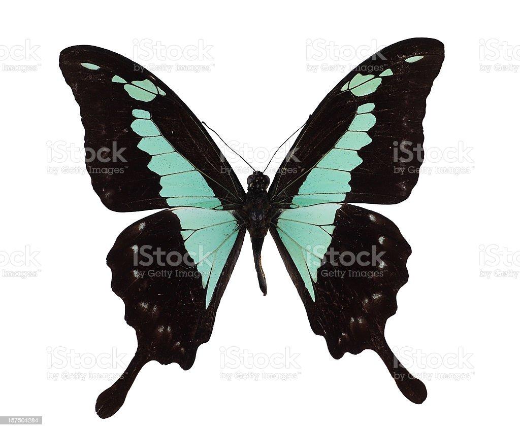 Papilio phorcas stock photo