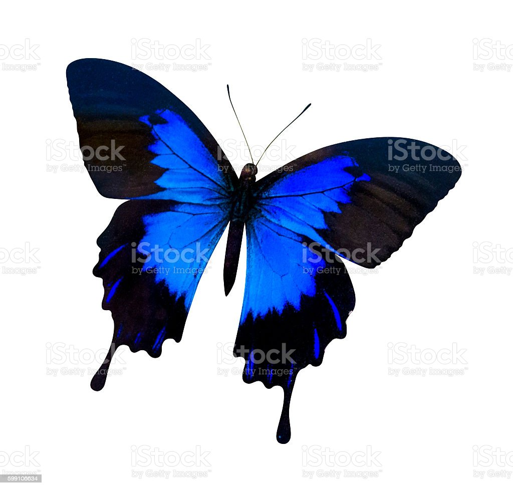 papilio ulysses isolated on white. butterfly on white background Papilio ulysses ampelius stock photo
