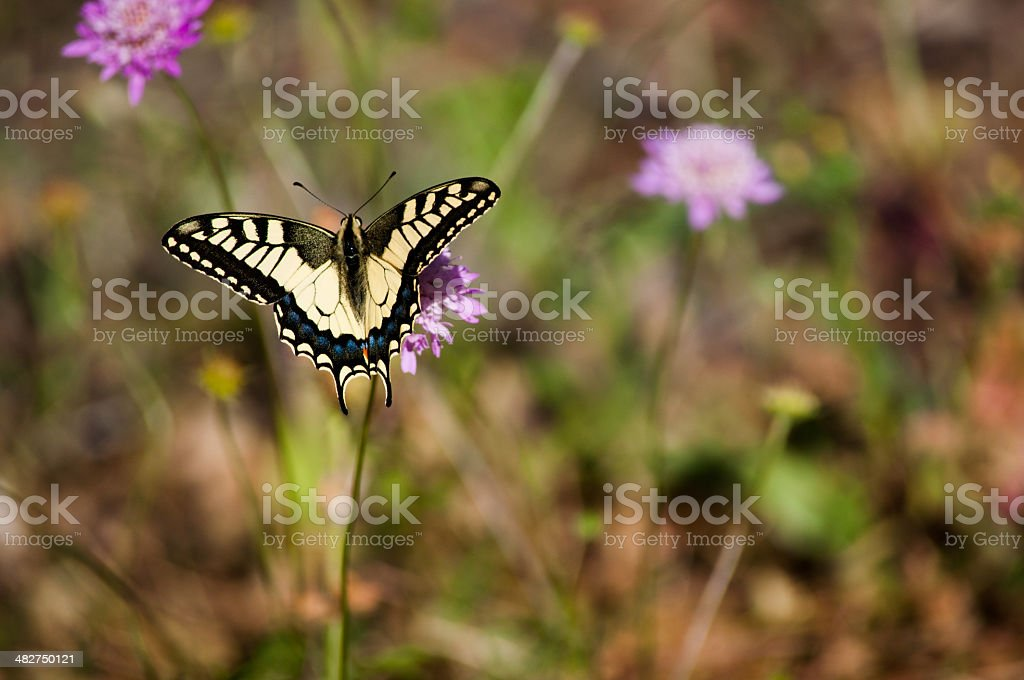 Papilionidae Butterfly stock photo