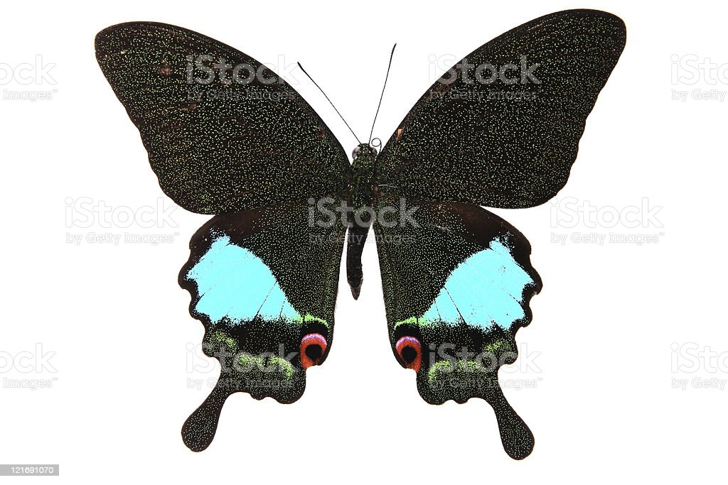 Papilionidae:Dark green and blue shapes dazzling colorful butterfly royalty-free stock photo