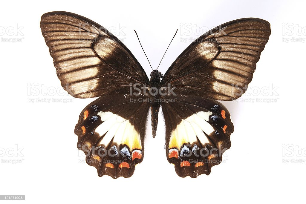 Papilionidae:Dazzling colors of the butterfly royalty-free stock photo