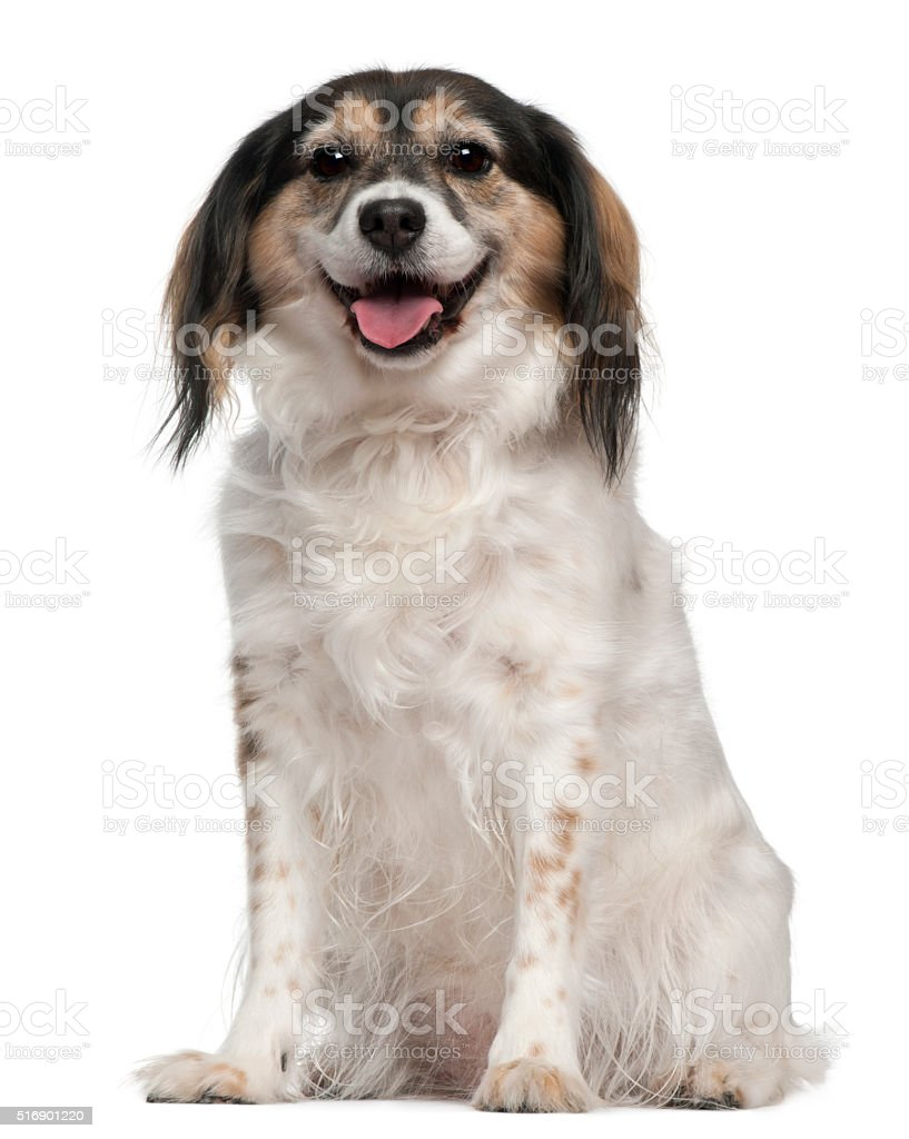 Papillon, 7 years old, sitting in front of white background stock photo