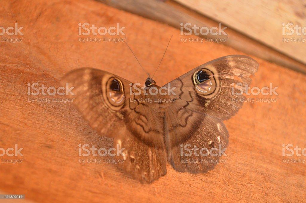 Papillon de type nymphalidae satyrinae de Madagacar stock photo