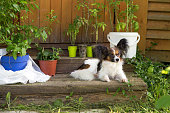 Papillon dog on a porch of wooden house