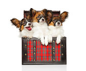 Papillon dog puppy in front of white background