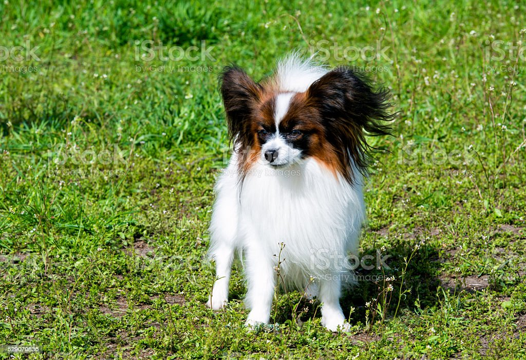 Papillon full face. stock photo
