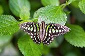 Papillon Graphium agamemnon sur une feuille