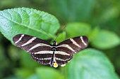 Papillon Heliconius charithonia sur une fleur