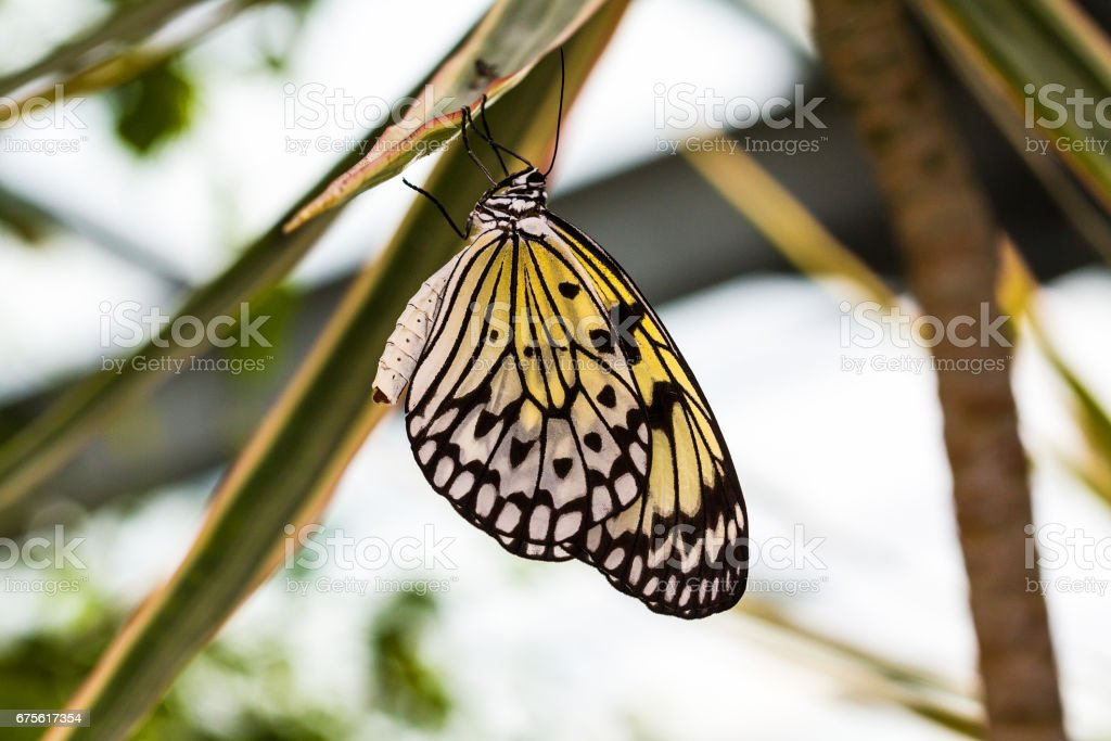 Papillon idea leuconoe gordita sur une plante stock photo