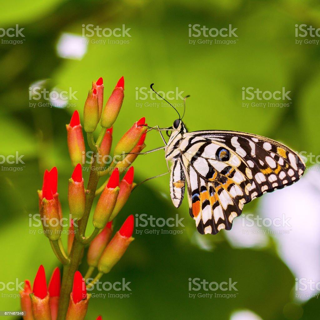 Papillon Idea Leuconoe sur une fleur stock photo