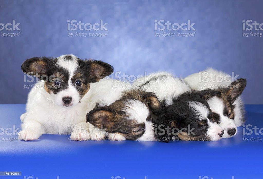 Papillon Puppies royalty-free stock photo