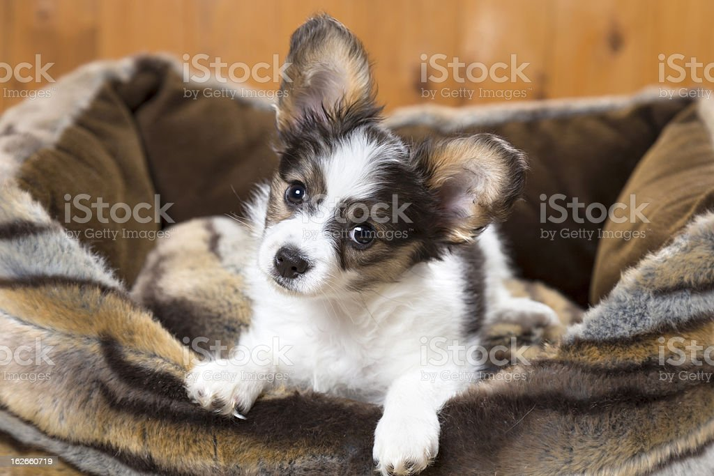Papillon Puppy in bed royalty-free stock photo