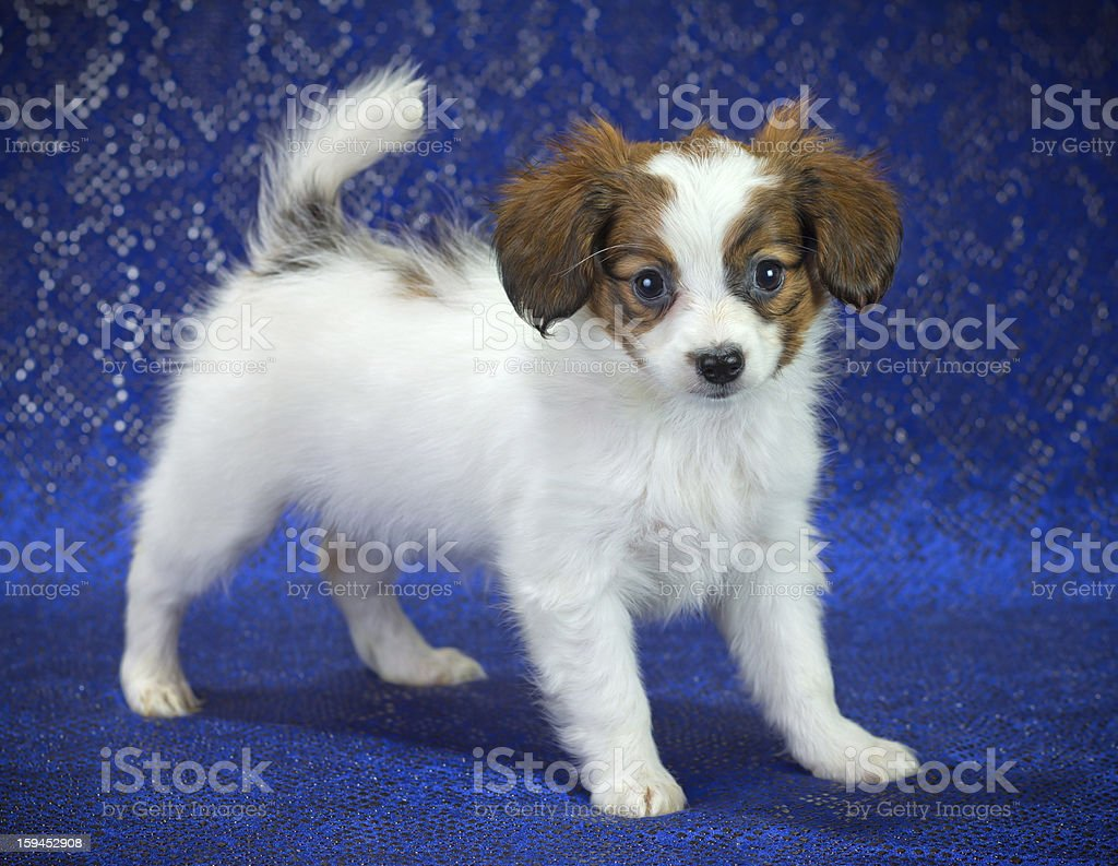 Papillon Puppy royalty-free stock photo
