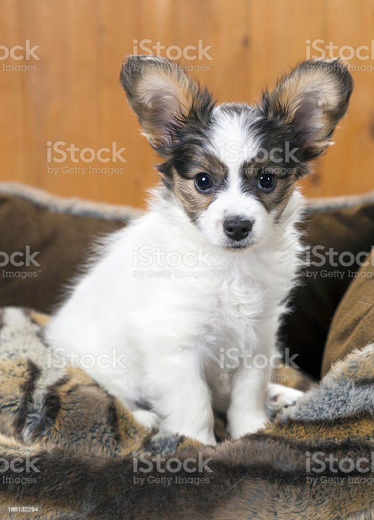 Papillon Puppy royalty-free stock photo