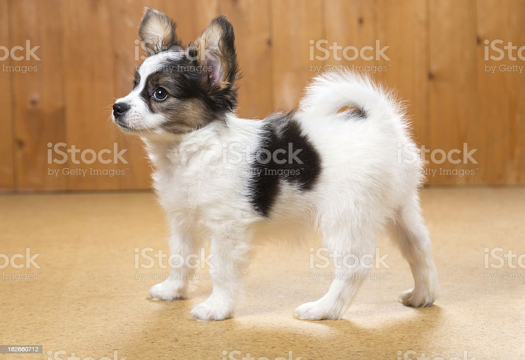 Papillon Puppy standing on floor royalty-free stock photo