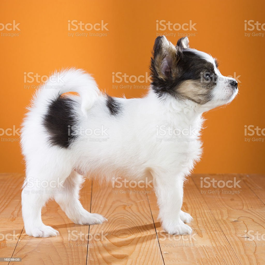 Papillon Puppy standing stock photo