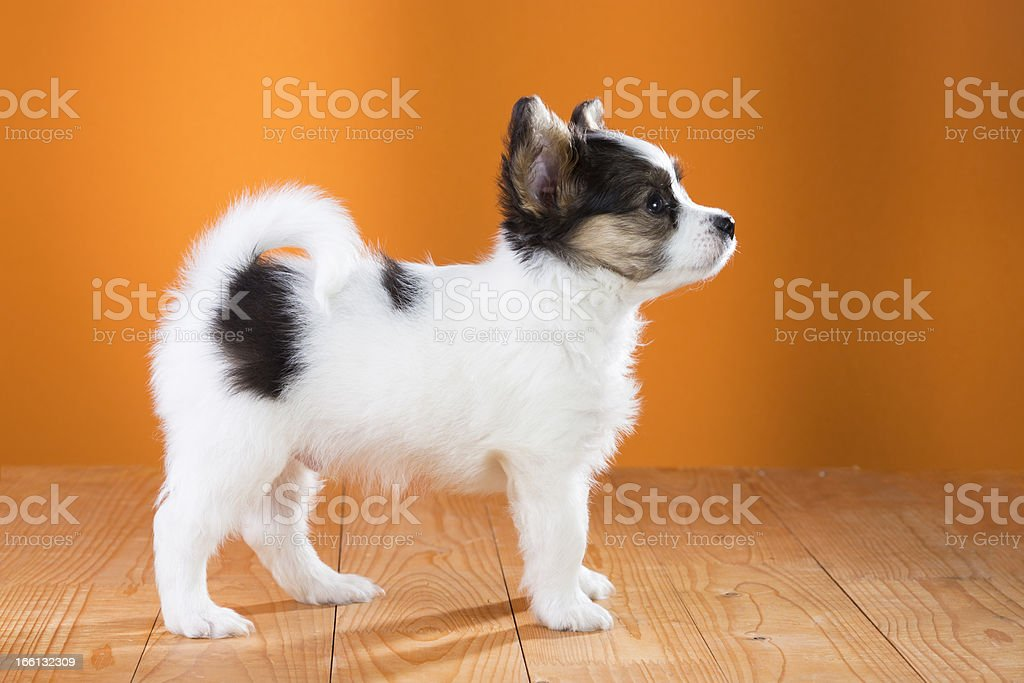 Papillon Puppy standing royalty-free stock photo