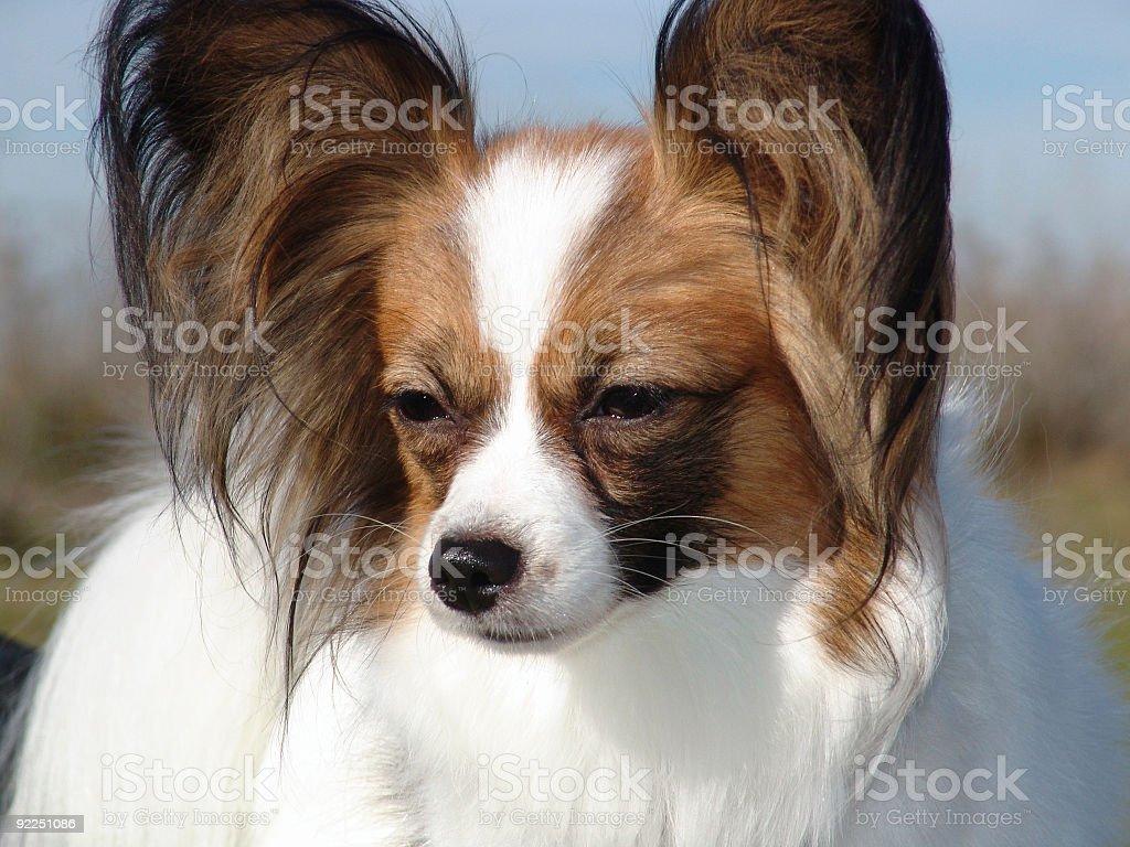 Papillon Service Dog stock photo