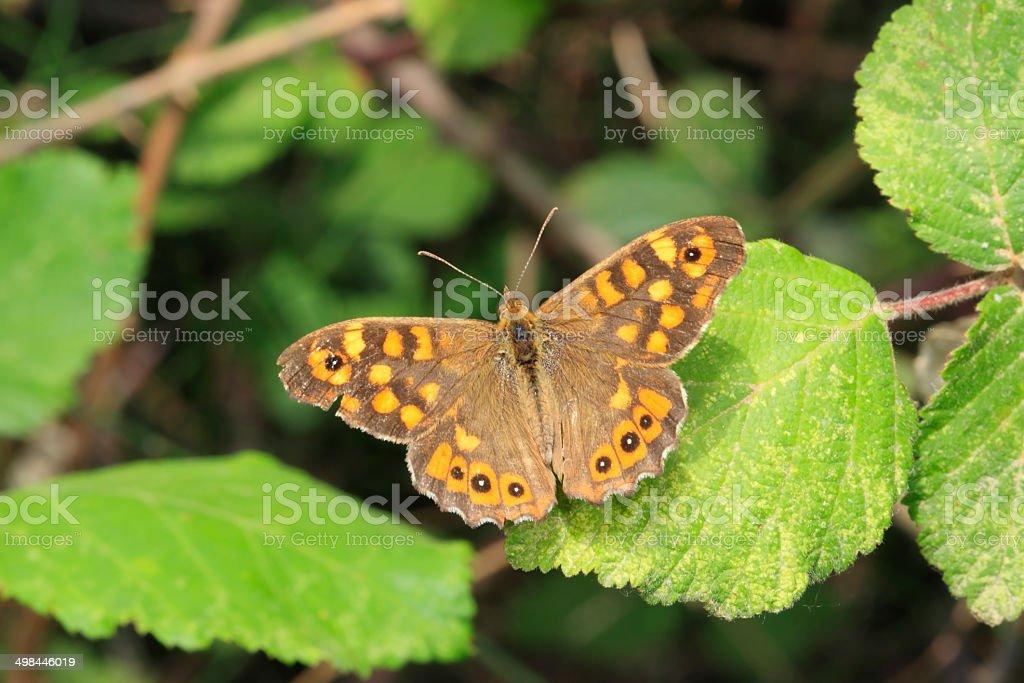 Papillon - Tircis. stock photo