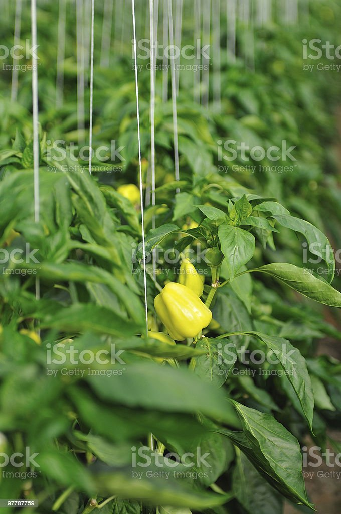 paprika in greenhouse royalty-free stock photo