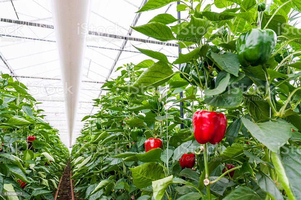 Paprika or Capsicum growing in a greenhouse stock photo