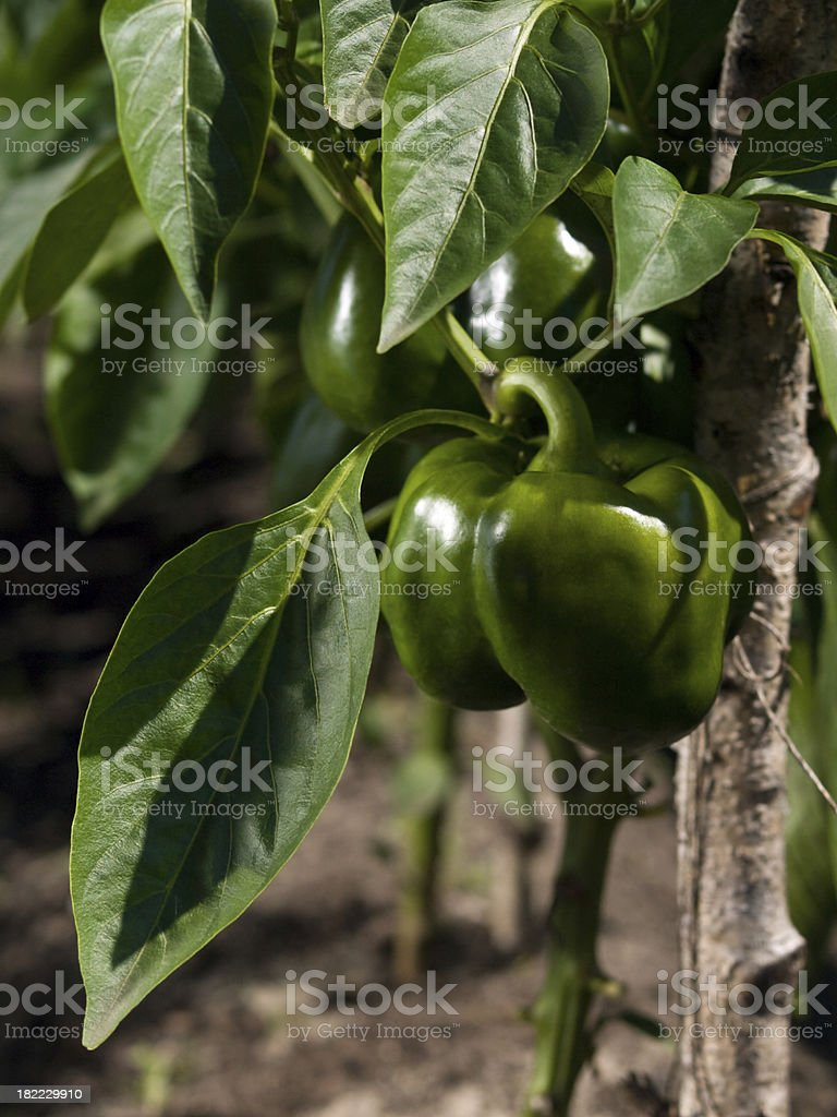 paprika plant royalty-free stock photo