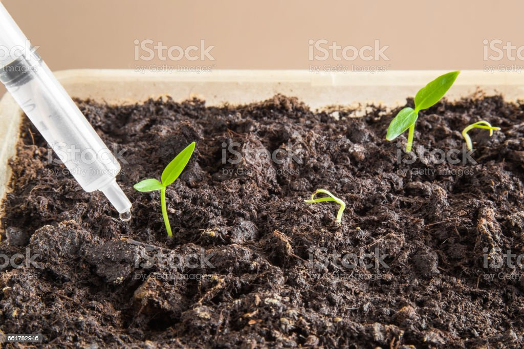 Paprika plants evolve in the ground. Careful watering. Sweet pepper. stock photo