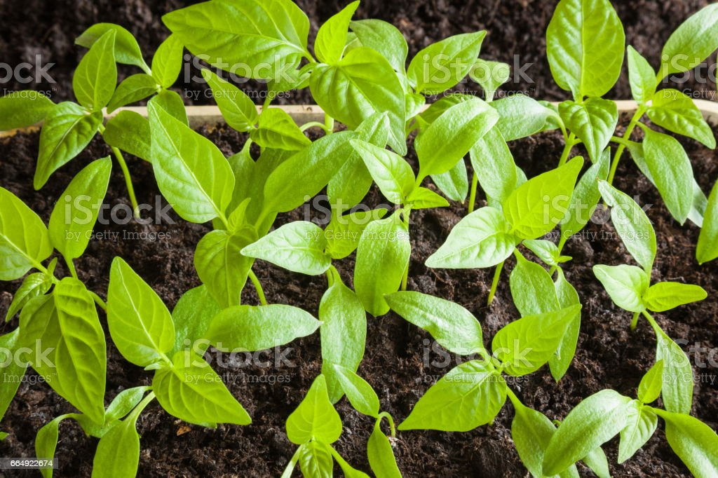 Paprika plants evolve in the ground. Early spring preparations for the garden season. stock photo