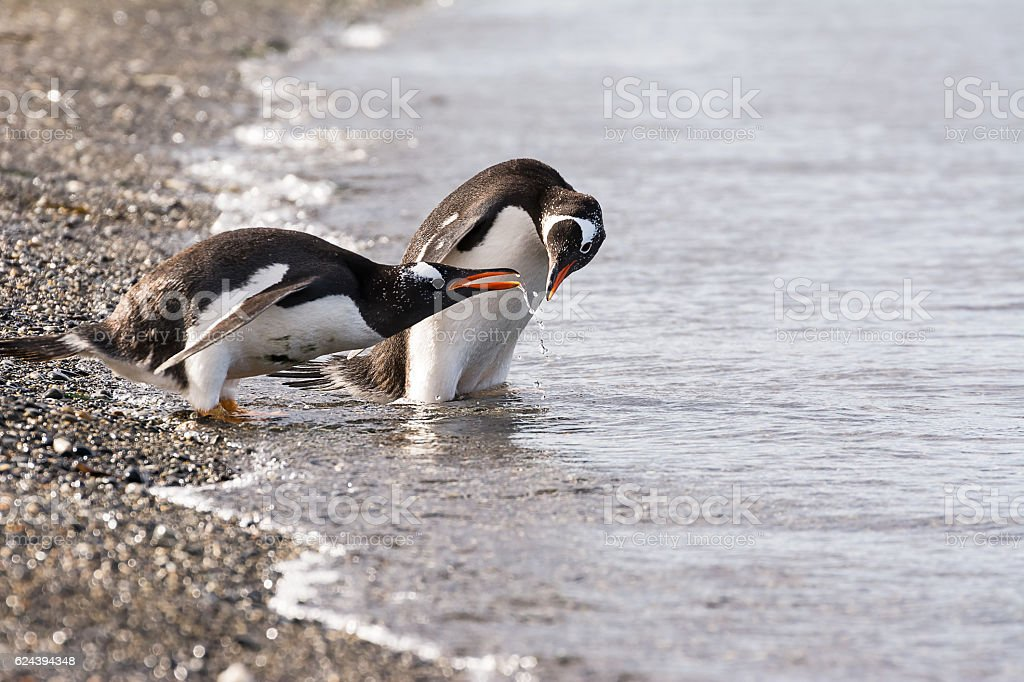 Papua penguin couple at the seaside stock photo