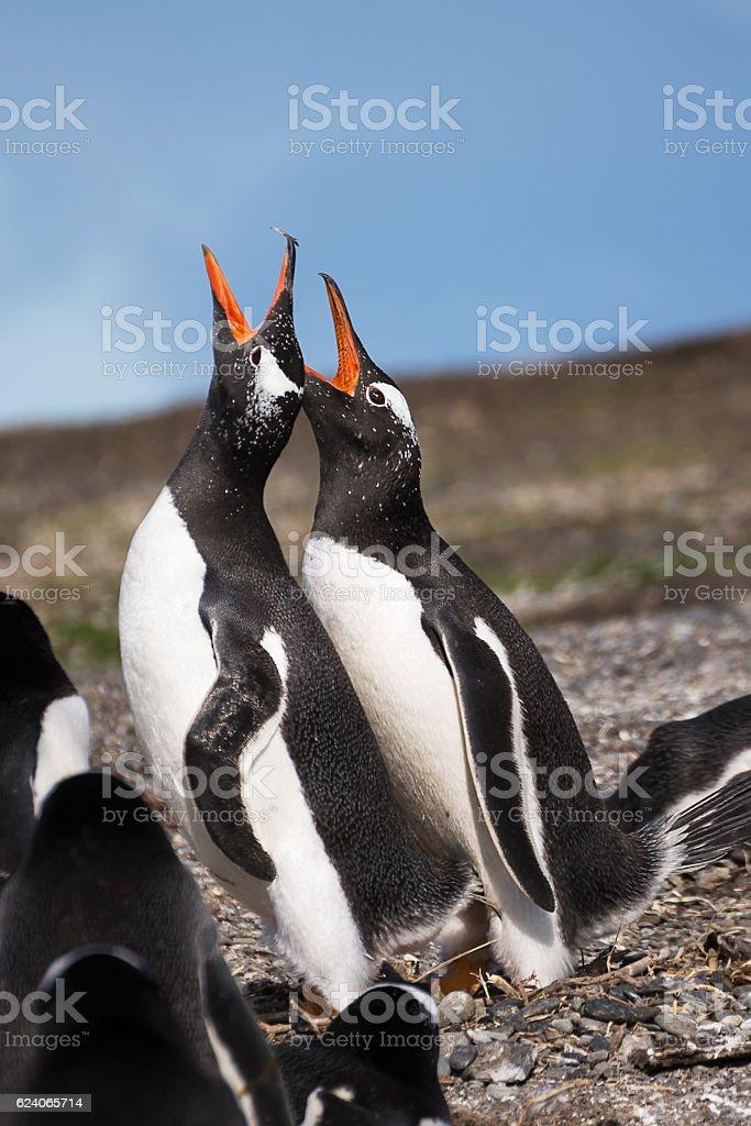 Papua penguin couple at the seaside scream stock photo