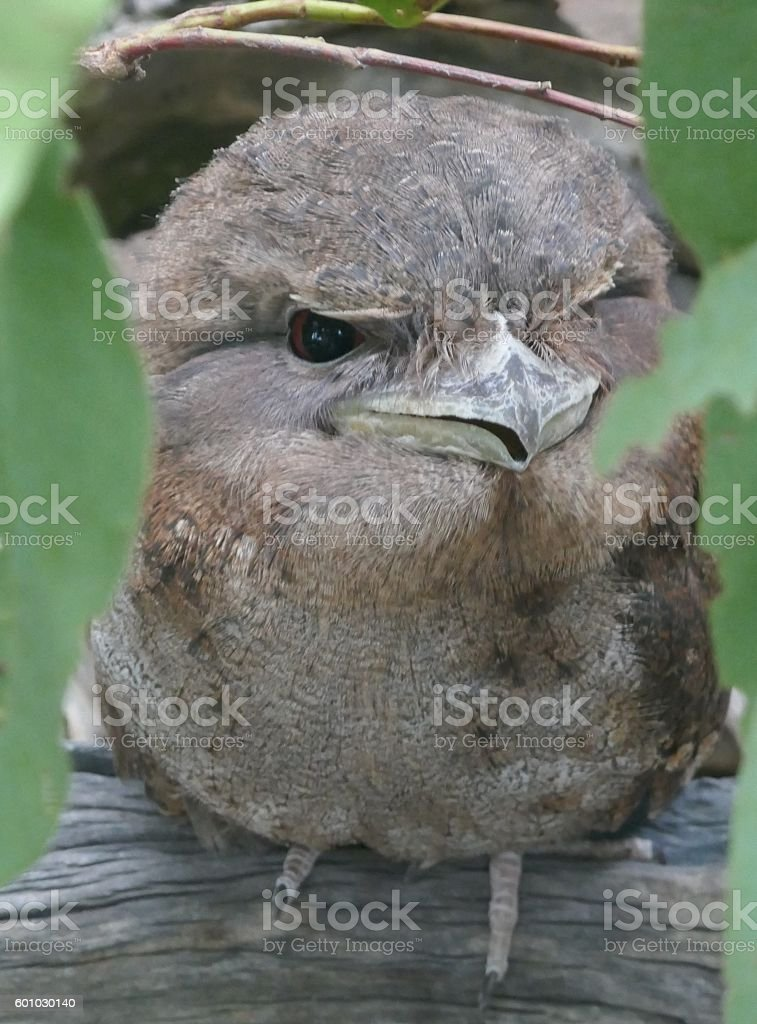 Papuan frogmouth stock photo