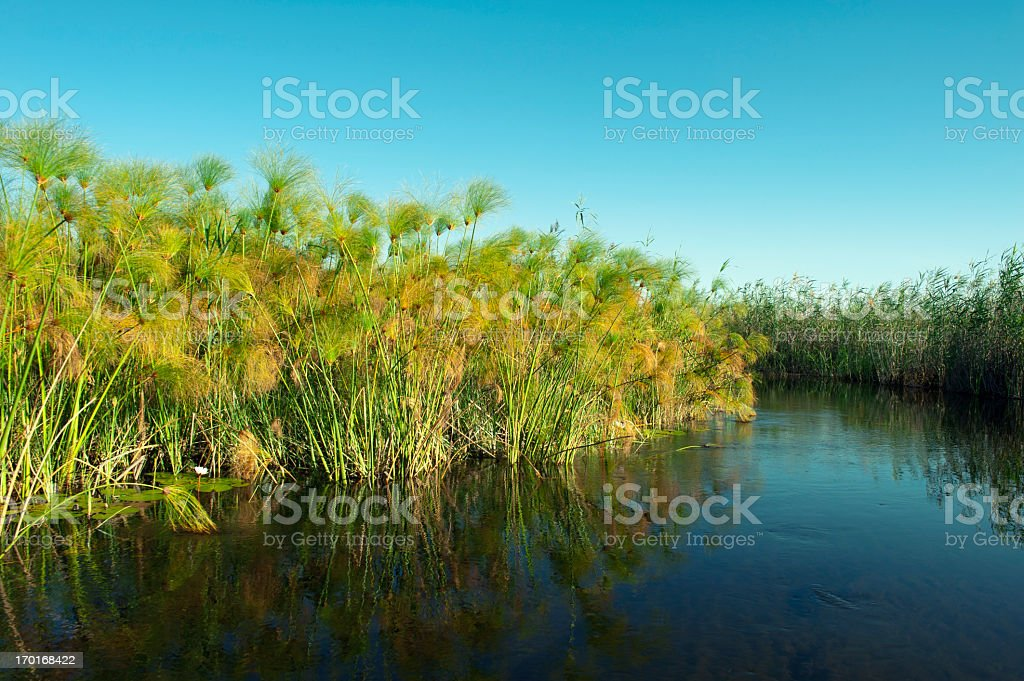 Papyrus and reed in Xigera Concession,Okavango Delta,Botswana stock photo