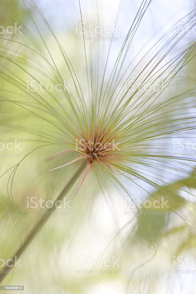 Papyrus Grass, Vertical royalty-free stock photo