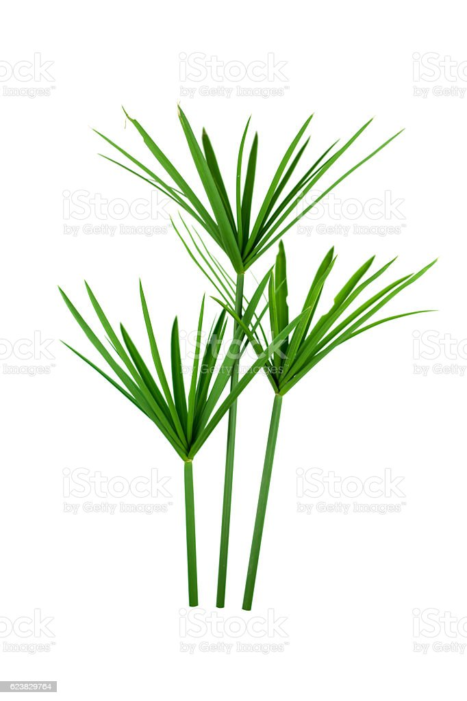 papyrus green plant isolated on white background stock photo