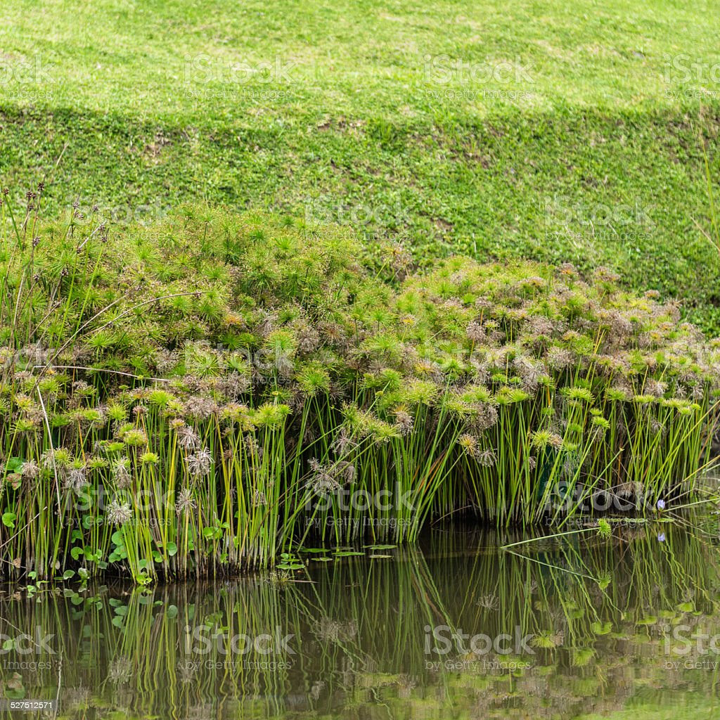 Papyrus Plant, Cyperus Flabelliformis stock photo
