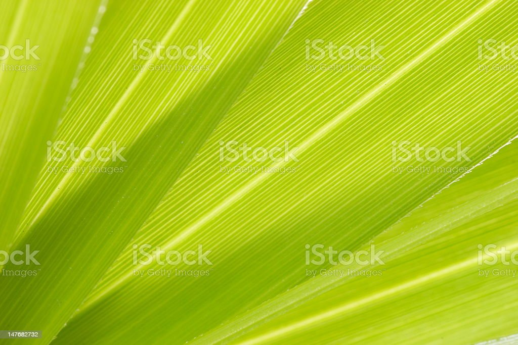 papyrus plant royalty-free stock photo