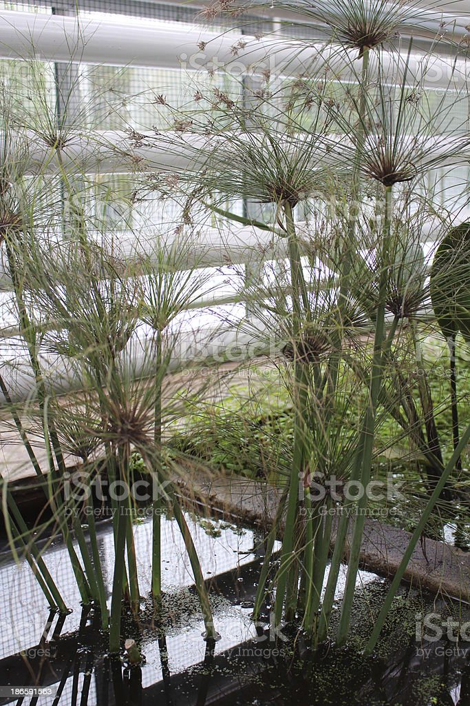 Papyrus plants in urban water environment stock photo