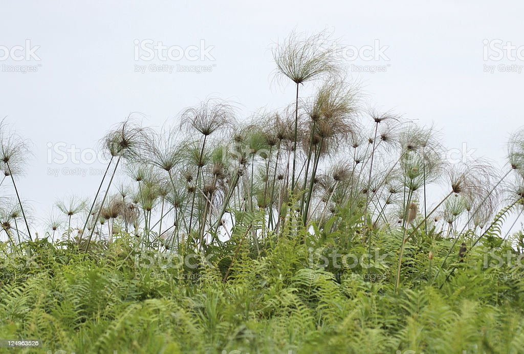 Papyrus plants near Lake Victoria stock photo