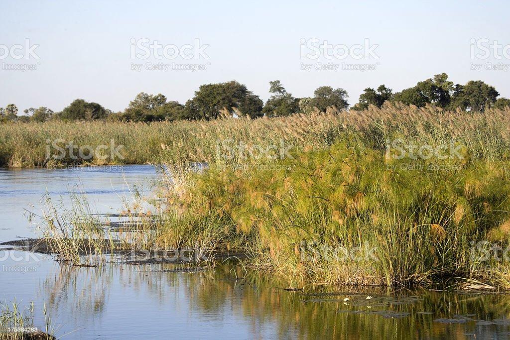 Papyrus Reeds in the Okavango stock photo